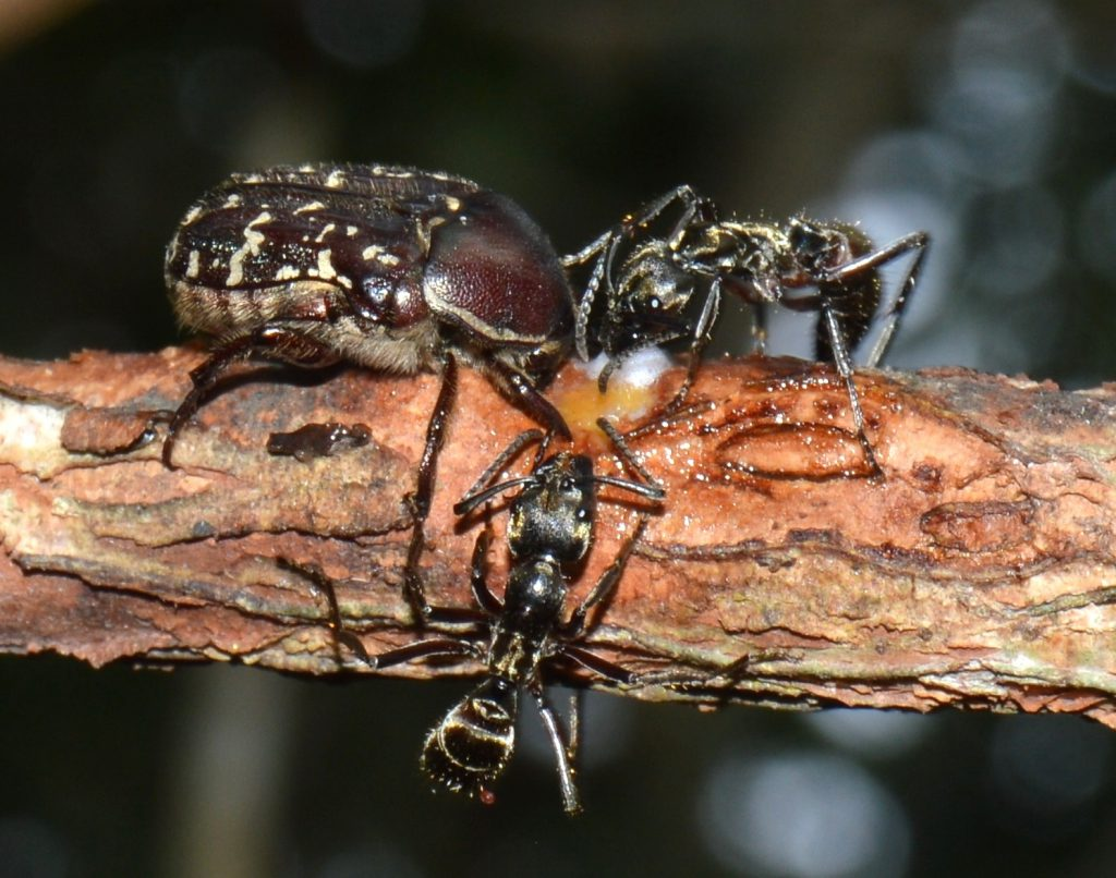 scarab beetle, ponerine ant, sap, vine